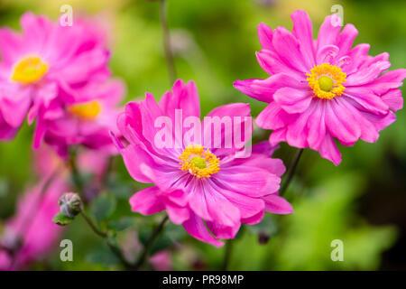 Japanese Anemone 'Bressingham Glow' flowers. - Stock Image