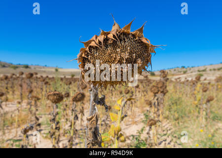 closeup of field of dry or withered sunflower in winter or autumn season, in Castile, Spain, Europe - Stock Image