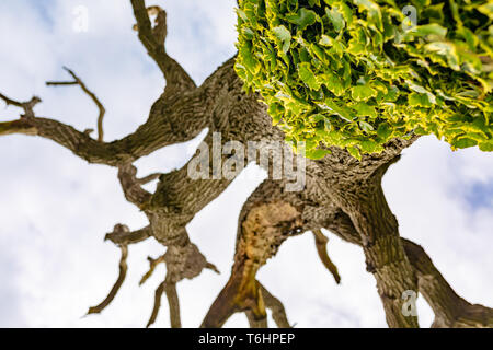 Creative colour photograph of dead rotting tree with only Ivy in focus on lower trunk, taken underneath tree, looking straight up. - Stock Image