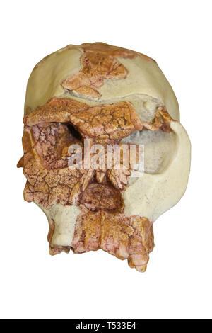 Homo habilis Skull 'Twiggy' OH24 - Stock Image