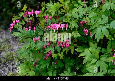 lamprocapnos spectabilis,heart shaped flowers,pink white heart shaped flower,flowers,foliage,leaves,leaf,Spring,flowering,shade,woodland,,dicentra spe - Stock Image