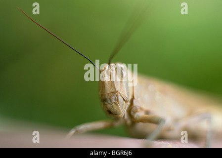 Grasshopper close-up macro view - Stock Image