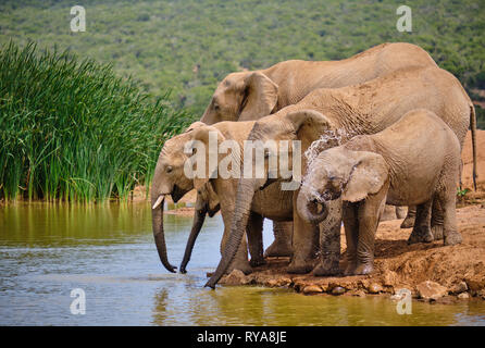Family of five african elephant drinking playfully at water hole. Various ages, baby spraying itself - Stock Image