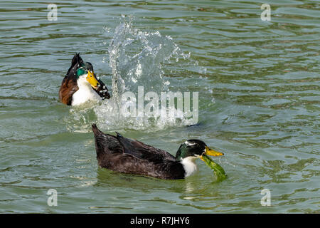 Ducks diving for food and feeding algae from the bottom of a lake - Stock Image