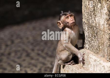 Langschwanz Makaken, long-tailed macaques,  Macaca fascicularis, Bali, juvenile at temple wall - Stock Image