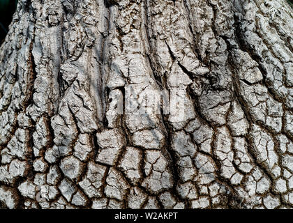 Beaucarnea recurvata;  elephant's foot tree bark - texture or background copyspace - Stock Image