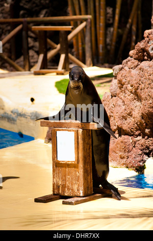 Sea lion at rostrum making a speech - Stock Image