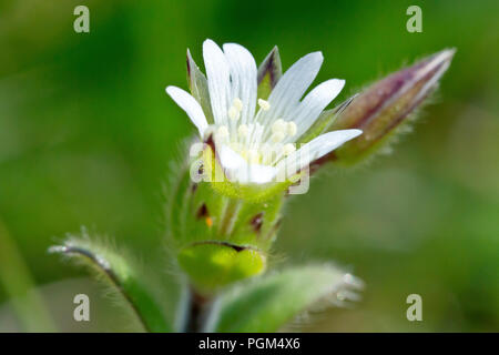 Common Chickweed (cerastium fontanum), also known as Mouse-ear Chickweed, a close up of the flower with bud. - Stock Image
