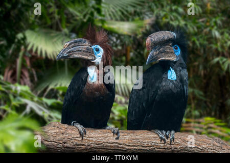 Black-casqued hornbill / black-casqued wattled hornbill (Ceratogymna atrata) male and female pair perched in tree, native to Africa - Stock Image