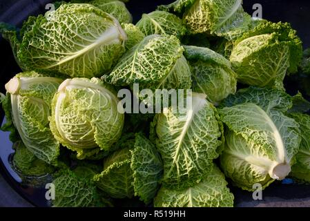 Freshly harvested savoy cabbage, with droplets of water, at Front Porch Farm, a 110-acre organic farm, Healdsburg, California, USA. - Stock Image