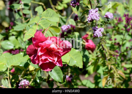 pink rose and purple flowers - Stock Image