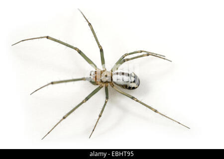 A female Black-Tailed Hammock-Spider (Neriene emphana) on a white background, part of the family Linyphiidae - Sheetweb - Stock Image