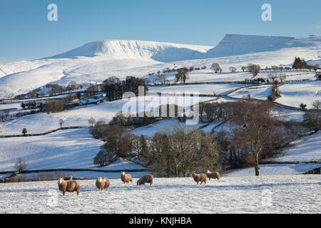 Paxton's Tower. UK. 11th December, 2017. Sheep in a snowy landscape in the western Brecon Beacons National Park, - Stock Image