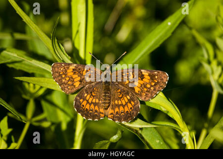 A silvery checkerspot butterfly, Chlosyne nycteis, in Sabins Pasture, Montpelier, Vermont. - Stock Image
