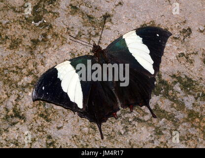 Central / South American Silver studded Leafwing Butterfly (Hypna clytemnestra), dorsal view.  A.k.a. Jazzy Leafwing or Marbled Leafwing. - Stock Image
