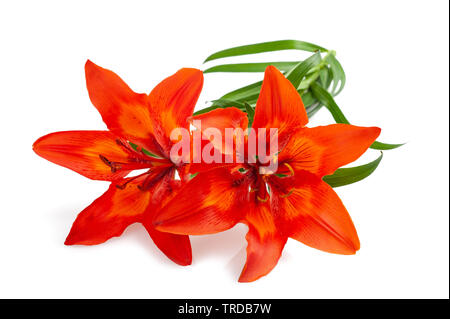 Orange  lily flower isolated on white backgrouind - Stock Image