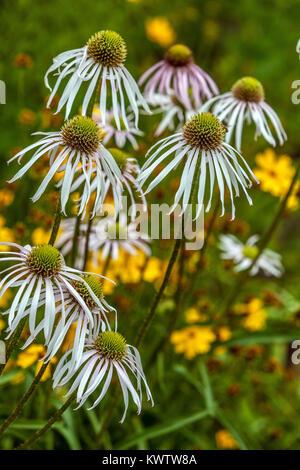Echinacea pallida 'Hula Dancer' flower. Coneflower - Stock Image