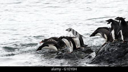 AdŽlie penguins (Pygoscelis adeliae) jumping in the sea water Madder Cliffs Antarctic Peninsula Antarctica - Stock Image