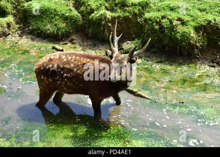 Philippine Spotted Deer - Stock Image