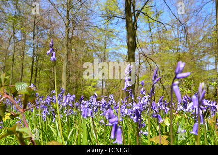 Bluebells in the woods at Wendover, Buckinghamshire, UK - Stock Image