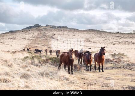 Dartmoor ponies on Bellever tor Dartmoor national park devon uk - Stock Image