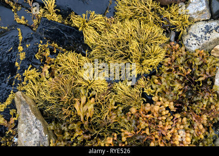 Channelled wrack and Spiral wrack seaweed growing on a rocky Scottish Beach, Scotland, UK - Stock Image