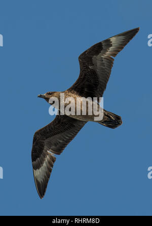 Jaeger Seagull With Widespread Wings Flies Over Sky In Scotland - Stock Image