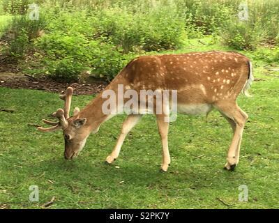 Deer - Stock Image