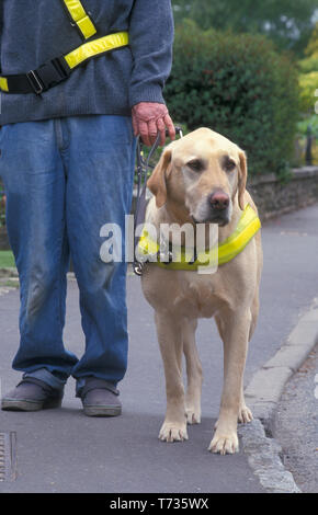guide dog for blind walking with owner on pavement - Stock Image