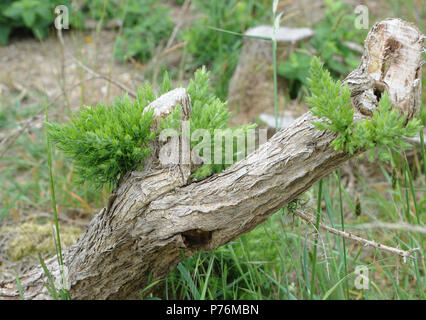 Common gorse (Ulex europaeus) freely sprouts and regenerates when old branches are severely cut back. Dungeness Nature Reserve, Dungeness, Kent, UK. - Stock Image
