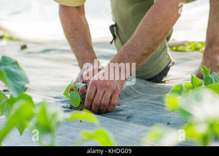 Planting crops - Stock Image