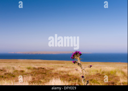 lone flower in foreground with field and water with small island on north coast of Scotland - Stock Image