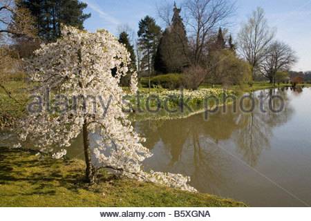 SPETCHLEY PARK GARDENS WORCESTERSHIRE FLOWERING CHERRY - Stock Image
