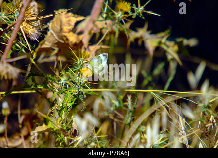 Southern Small White butterfly (Pieris mannii) at the Mavrokolympos Dam in the Mediterranean island of Cyprus - Stock Image
