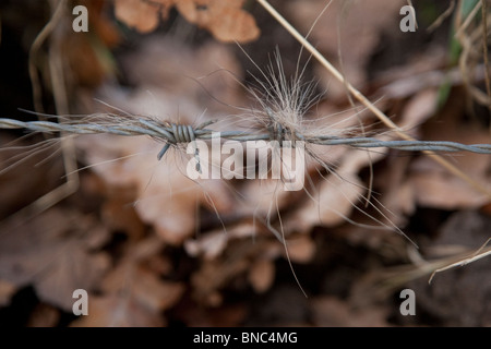 Badger hairs on barbed wire. - Stock Image