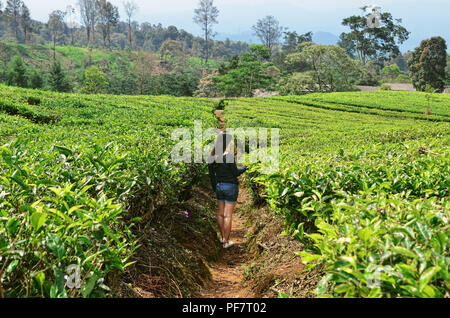 Girl walks in the middle of tea plantation, Subang, West Java - Stock Image