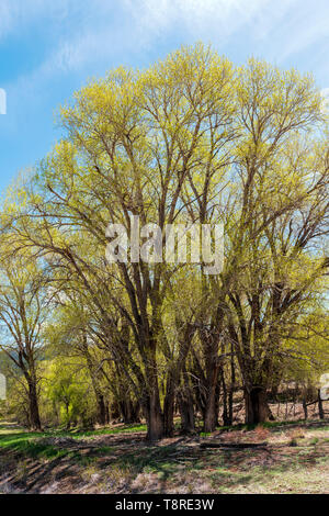 Cottonwood Tree s(Populus deltoides) in fresh springtime green bloom; Vandaveer Ranch; Salida; Colorado; USA - Stock Image