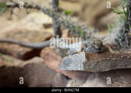 Madagascar Plated Lizard (Zonosaurus sp) at the California Academy of Sciences, Golden Gate Park, San Francisco, - Stock Image