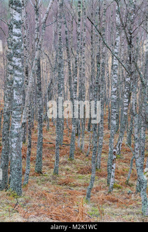 Silver birch trees (Betula pendula), leafless and heavily encrusted with lichens in Glen Feshie, Inverness-shire, - Stock Image