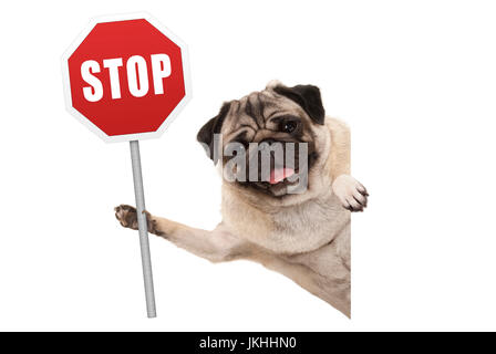 smiling pug puppy dog holding up red traffic stop sign, isolated on white background - Stock Image