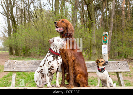 Three dogs sitting on a wooden bench in a park - Stock Image
