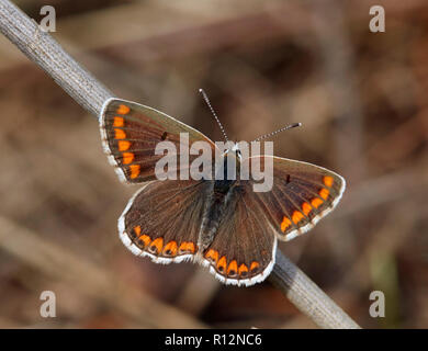 Brown Argus butterfly. Hurst Meadows, East Molesey, Surrey, England. - Stock Image