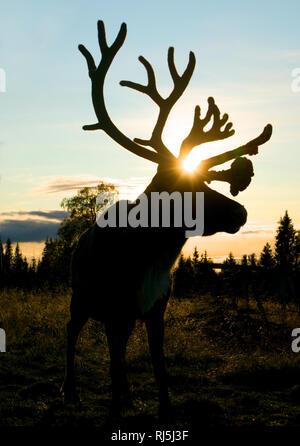 Reindeer at night - Stock Image