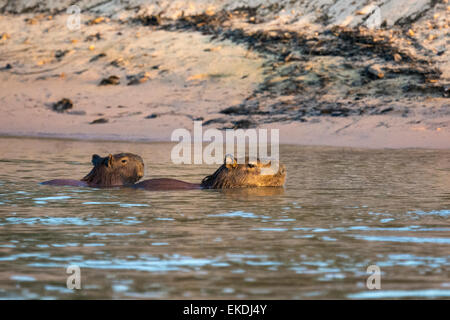 Wild, adult female Capybara, Hydrochaeris hydrochaeris, swimming with her pup on her back in a river in the Pantanal, - Stock Image