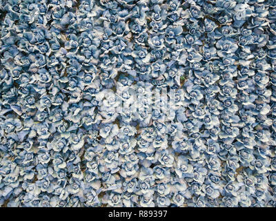Aerial view of a field of ripe blueberry cabbage - Stock Image