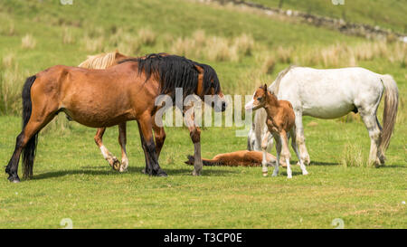 Horses and foals on a meadow - Stock Image