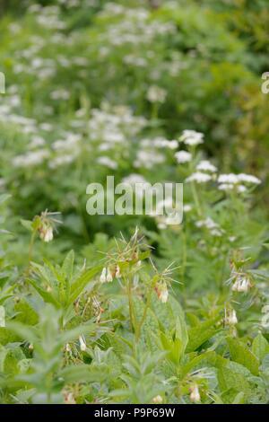 Symphytum grandiflorum, Creeping Comfrey flowers with Mhyrris odorata, Sweet Cicily, Wales, UK - Stock Image