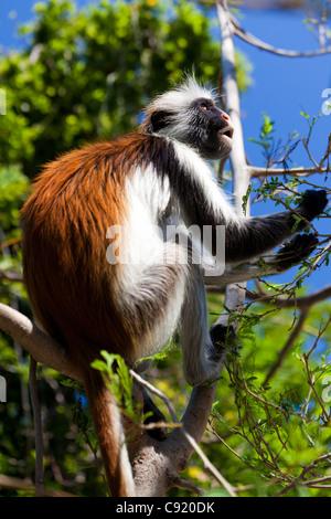 Red Colobus Monkey, Jambiani, Zanzibar - Stock Image