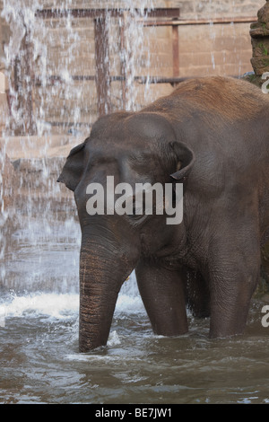 Bull Asian elephant playing in water - Stock Image