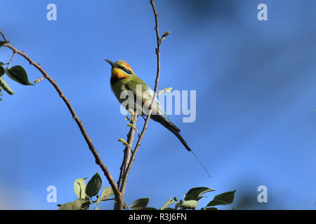 An Australian, Queensland Male Rainbow Bee-eater ( Merops ornatus ) perched on a tree branch looking for Bees - Stock Image